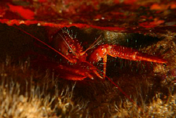 &quot;Devil Lobster&quot;. This lobster was photographed at Sharks ... by Mathew Cook 